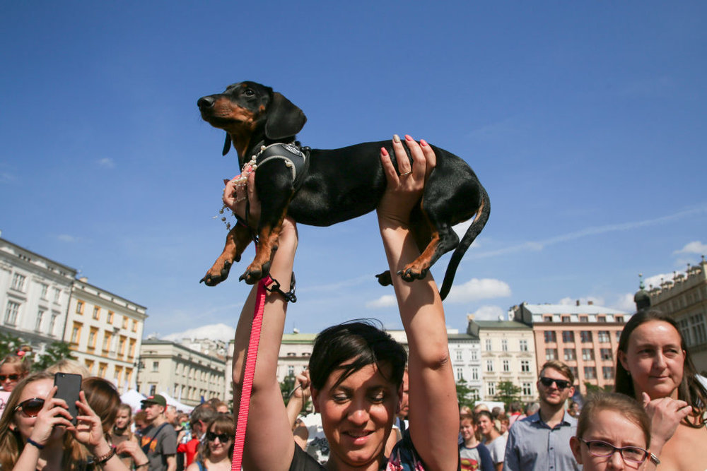 March of the Dachshunds, Krakow