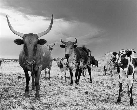 African cows, herding on the plains, where farmers have to keep watch for big cats and dogs looking for an easy meal.