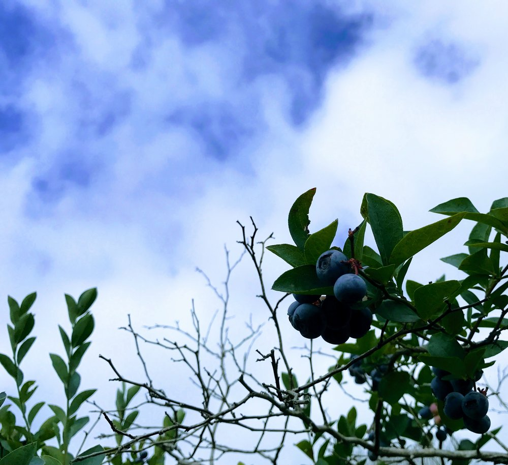 Annual blueberry picking at Leavelle Farms