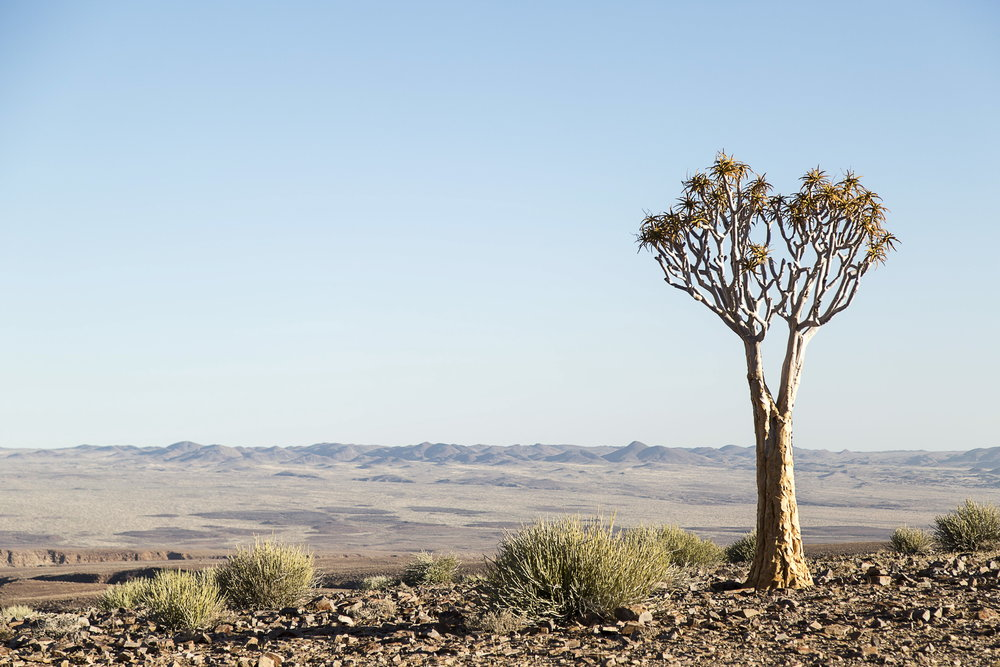 Quiver tree in the Namib Naukluft Park