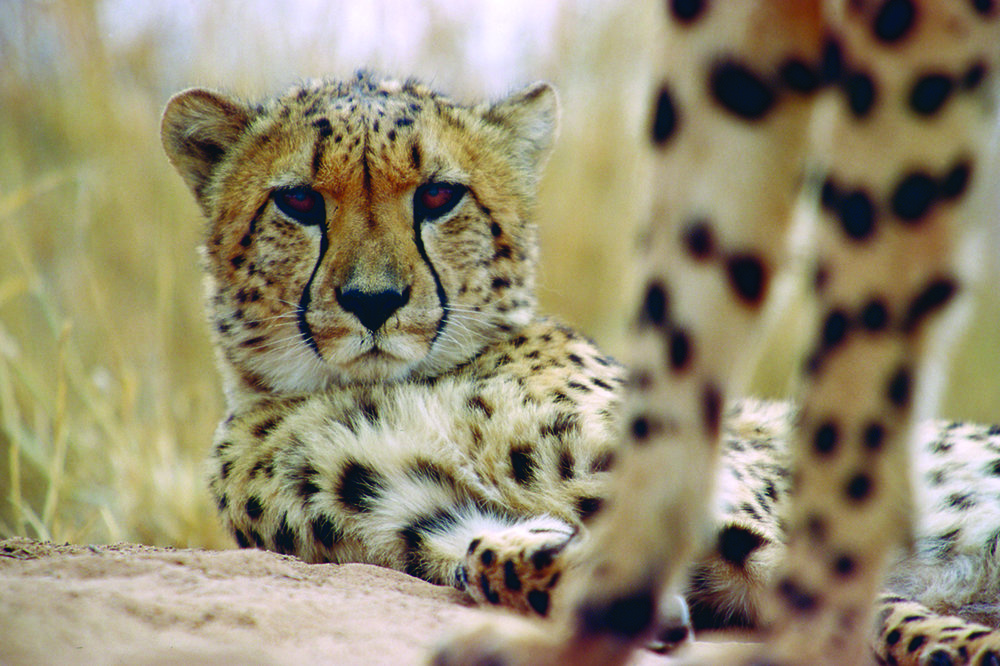 Cheetah at Okonjima