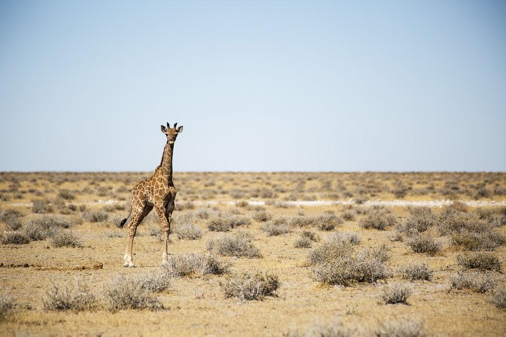Baby Giraffe at Etosha National Park