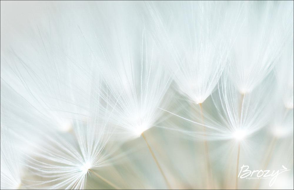dandelion whispers