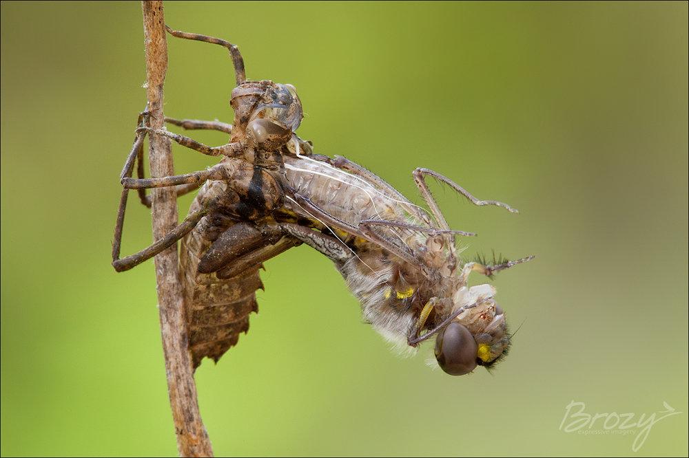 dragonfly emergence 1
