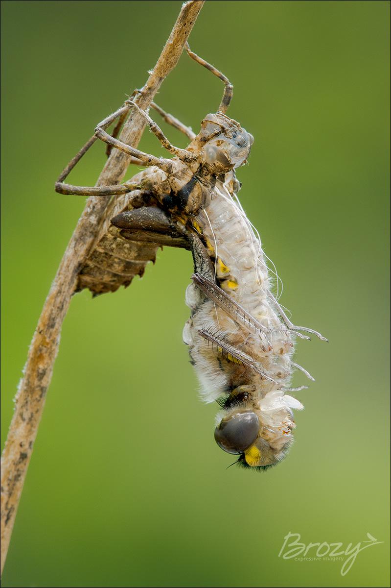 dragonfly emergence 2