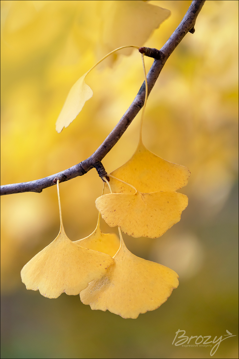 gold as ginkgo