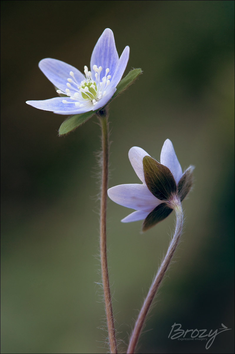 us - two round-lobed hepaticas