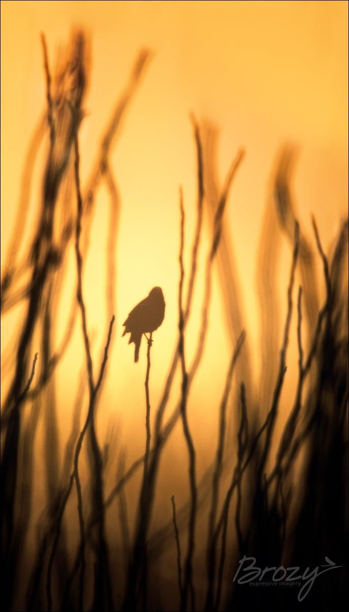 silhouetted blackbird