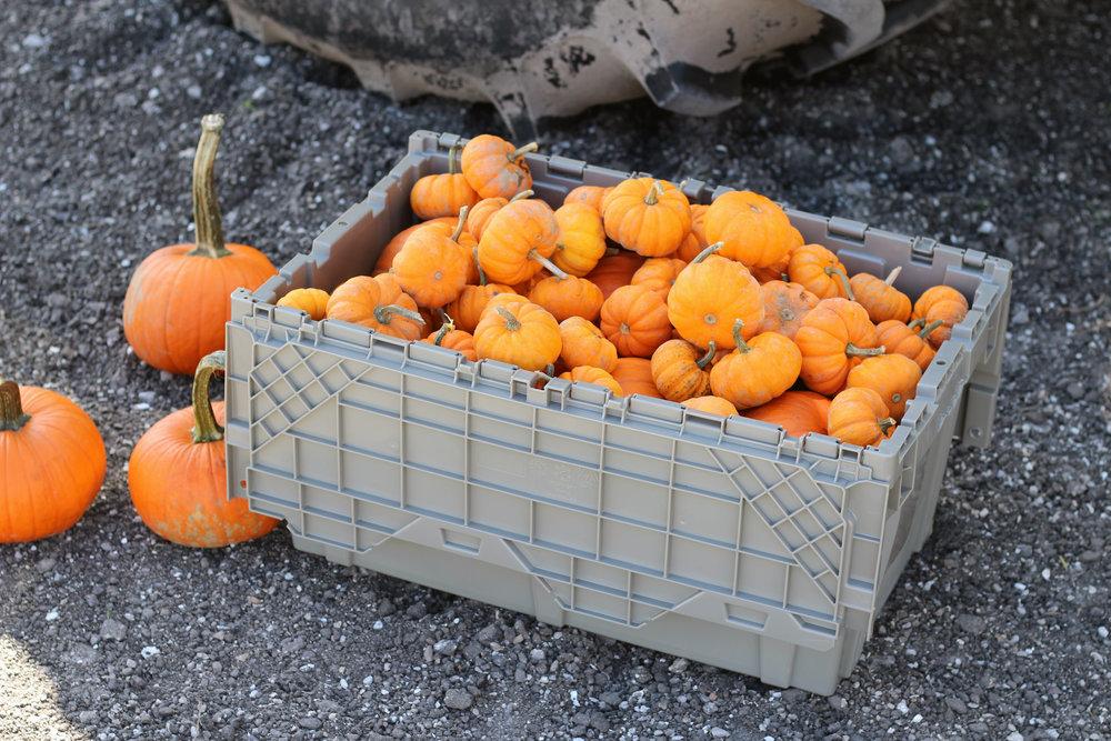 BITM_pumpkins.JPG