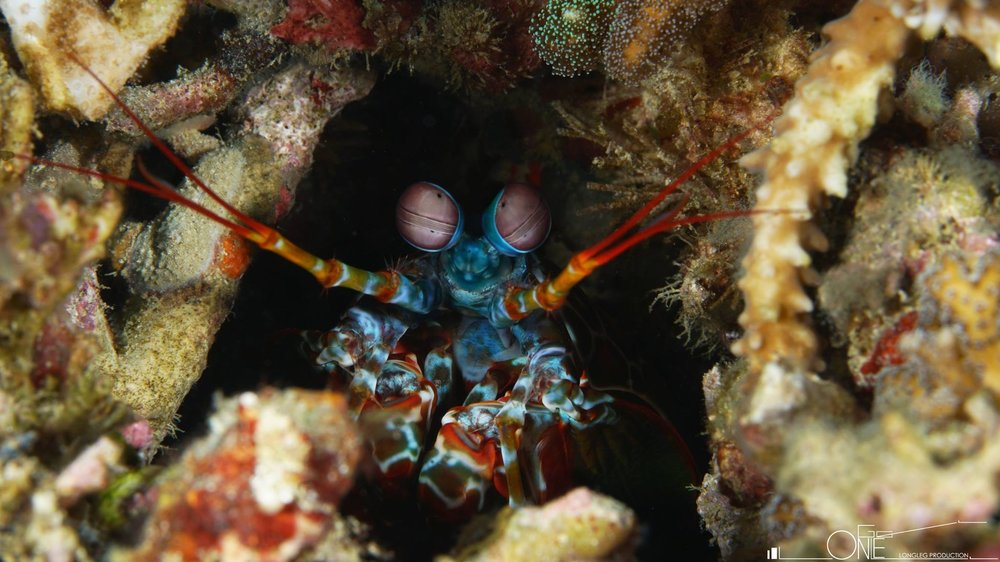 皮皮虾PEACOCK MANTIS SHRIMP