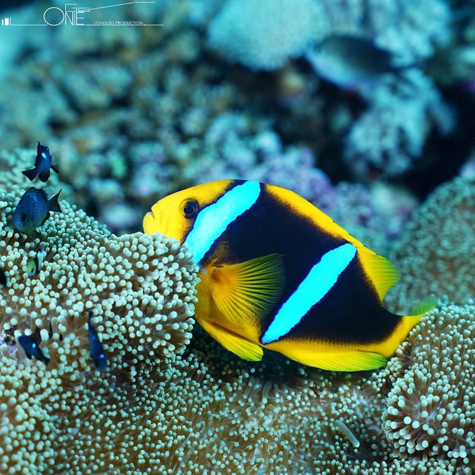 小丑鱼Clarks Anemonefish