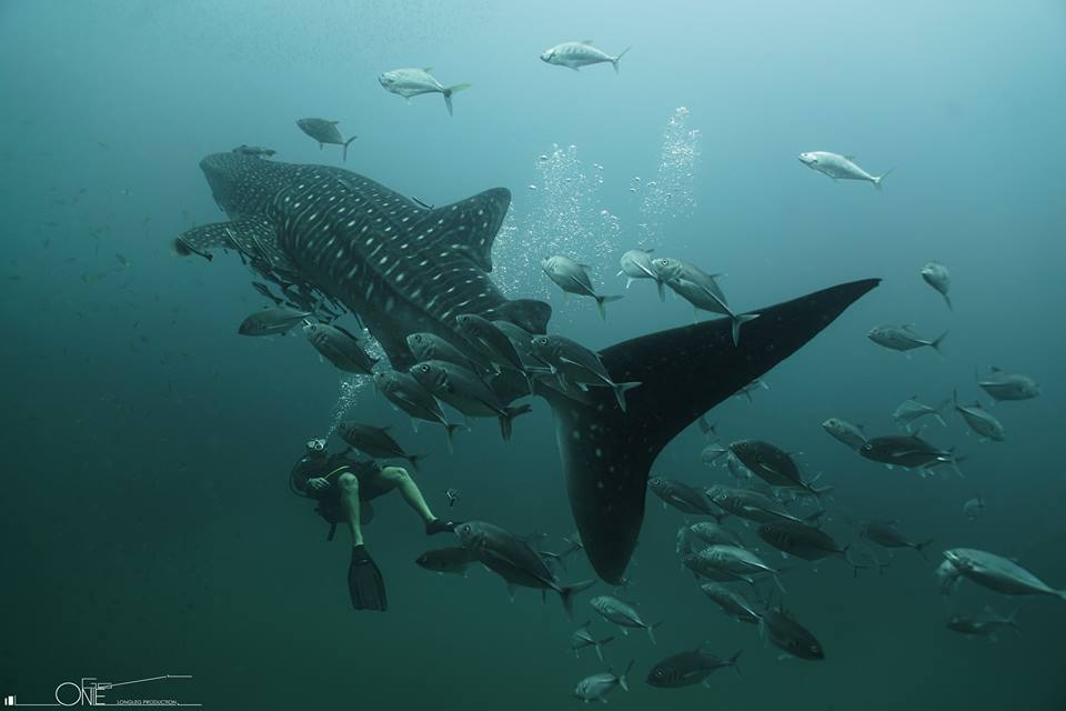 鲸鲨,蝠鲼等这样的优美大鱼,看上去体格强壮,但其实整个身体皮肤都非常脆弱,不当的损伤,即使一个小口子都有可能让它们感染上皮肤疾病最终导致死亡。其他很多种鱼类也都一样,这也是潜水员呼吁禁止触碰水下一切生物的原因。   Location:Sail Rock, Gulf Of Thailand.