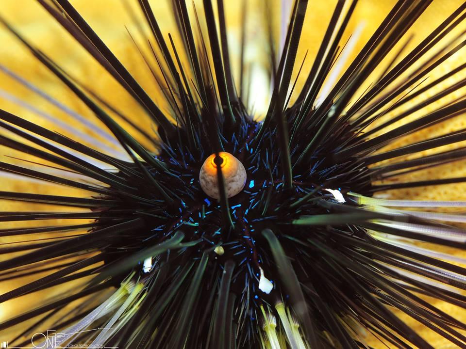 Echinoidea (sea urchin)