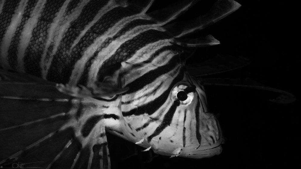 The Lionfish(Pterois volitans)