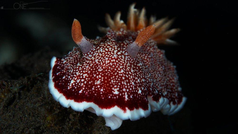 Nudibranch (Chromodoris reticulata)