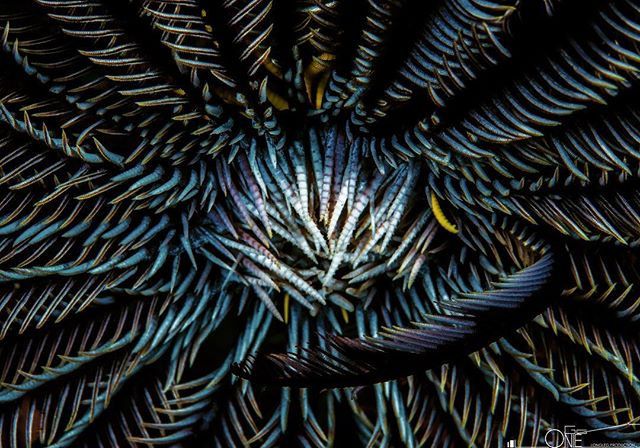 Feather star #underwaterart #underwaterphotography #uwphotography #abstract #abstractart #underwaterworld #scuba #scubadiving #nature #ocean #travel #picoftheday #malaysia #layanglayang #protecttheocean
