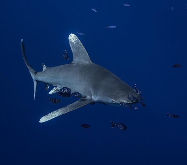 Oceanic white tip shark  #shark #savethesharks #underwaterphotography #uwphotography #scuba #scubadiving #ocean #underwaterworld #nature #travel #nauticamhousings #sony #protecttheocean #egypt #redsea