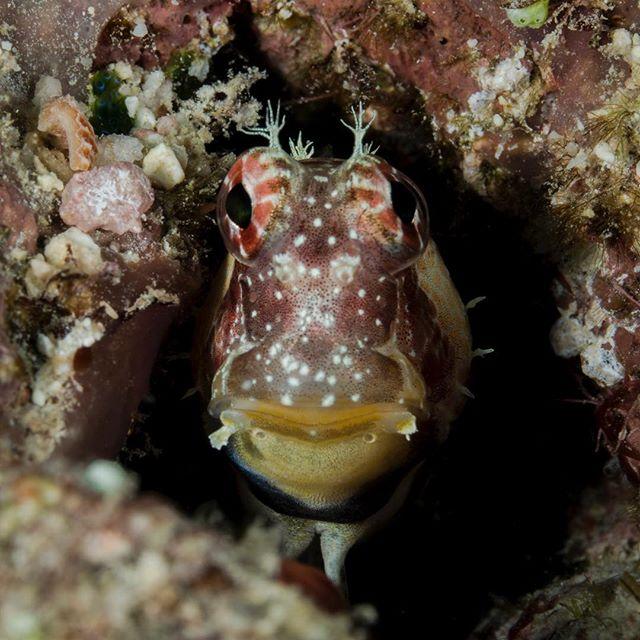 Watchdog Blenny  #blenny #underwaterphotography #macro #scubadiving #naiafiji #travelphotography #underwater #marinelife #ocean #travel #fiji #fijiislands #protecttheocean #sonyalpha #nauticamhousings #picoftheday
