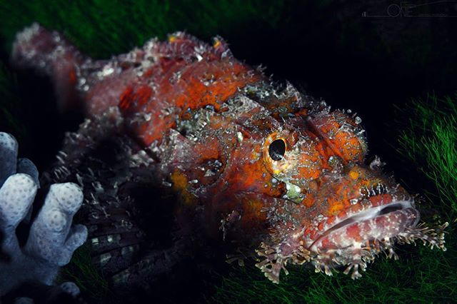 Colorful scorpion fish  #scorpionfish #colors #scuba #marinelife #scubadiving #underwaterphotography #nauticamhousings #sonyalpha #rajaampat #indonesia #protecttheocean #travel #picoftheday