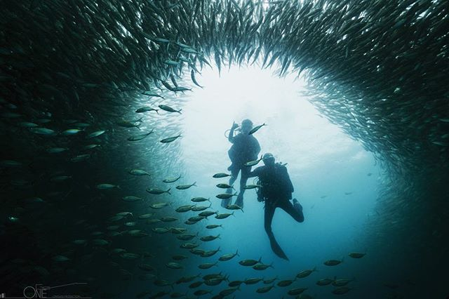 Dive into a cloud of fusiliers  Private trip with Thai scuba divers, Koh Samui. #scubadiving #scuba #underwaterphotography #underwaterpics #travel #picoftheday #sonyalpha #nauticamhousings #kohtao #kohsamui #thailand #protecttheocean