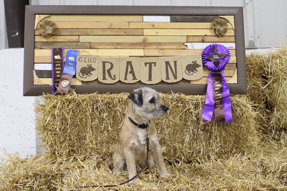 Keifer started and finished his Barn Hunt Novice title this weekend at the Greater Lafayette Kennel Club trial! 1/21/18