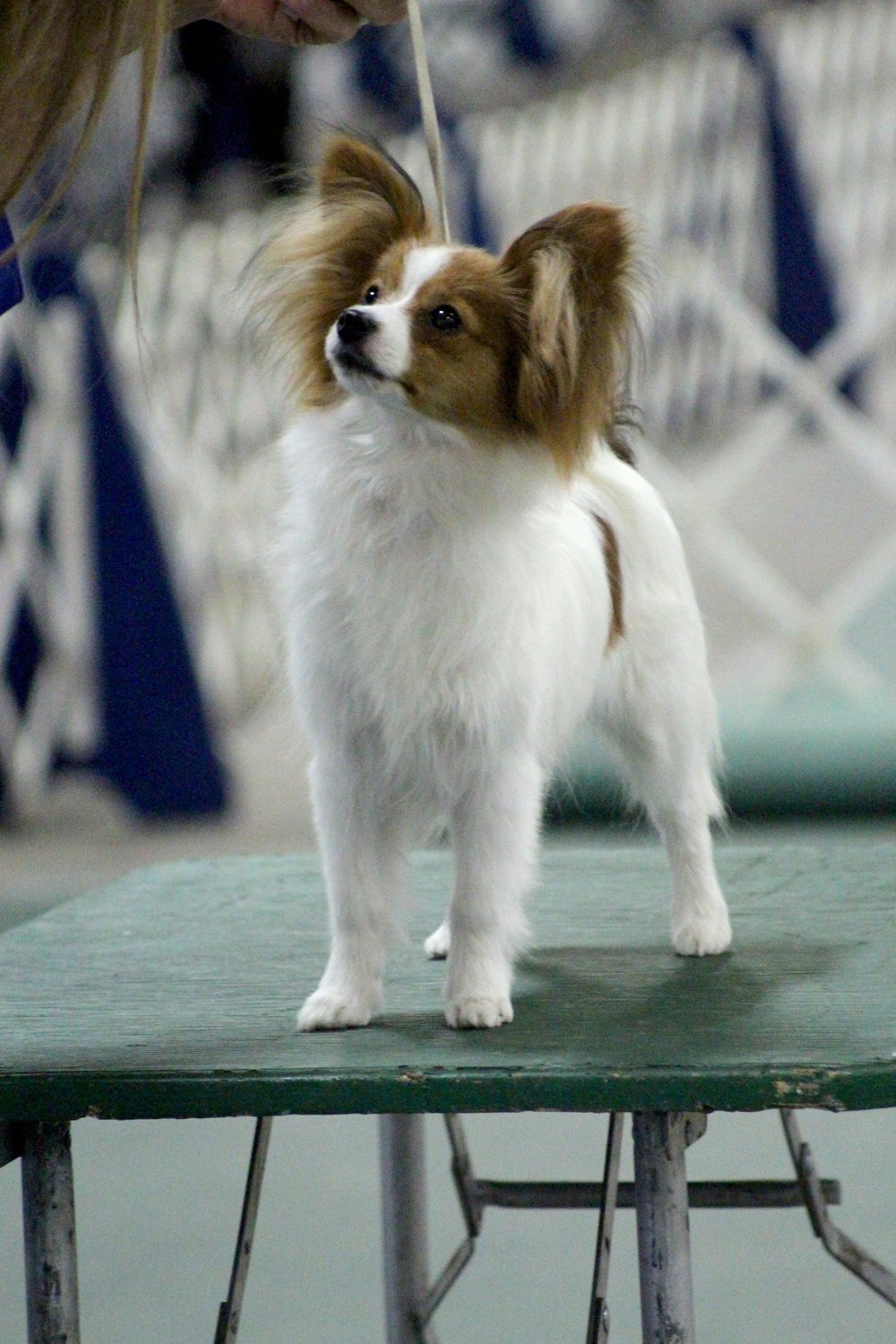 Star at her very first conformation show at the Kentuckiana Cluster of Dog shows March 2018, she was in the 6-9 month puppy class.