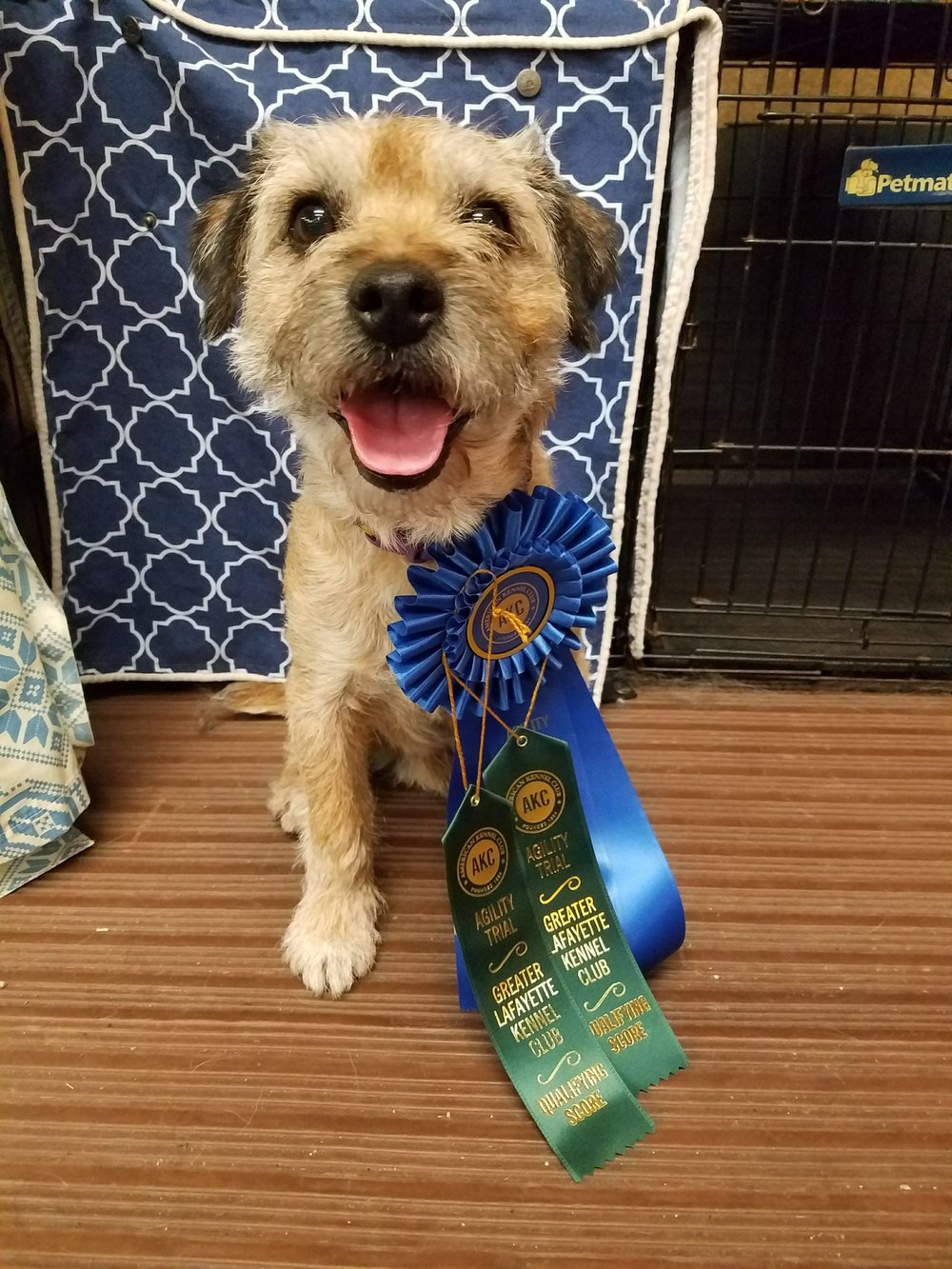 Keifer had a great FAST and Standard run at the Greater Lafayette Kennel Club agility trial. He qualified and placed first in both, plus got 25 more PACH points!