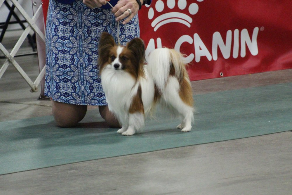 Samwise at the Kentuckiana Cluster of Dog Shows March 2018.