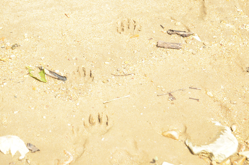 Raccoon tracks on the beach