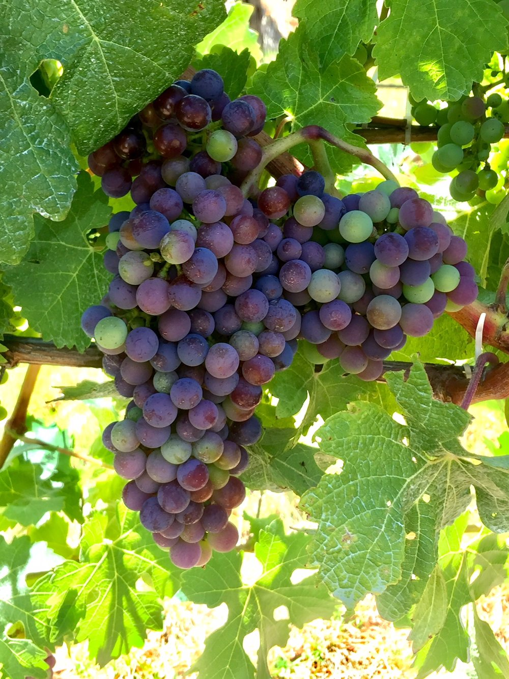 Cabernet Sauvignon | photo taken 14 January