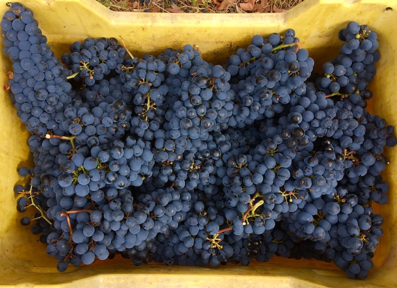 Cabernet Sauvignon harvest 15 March