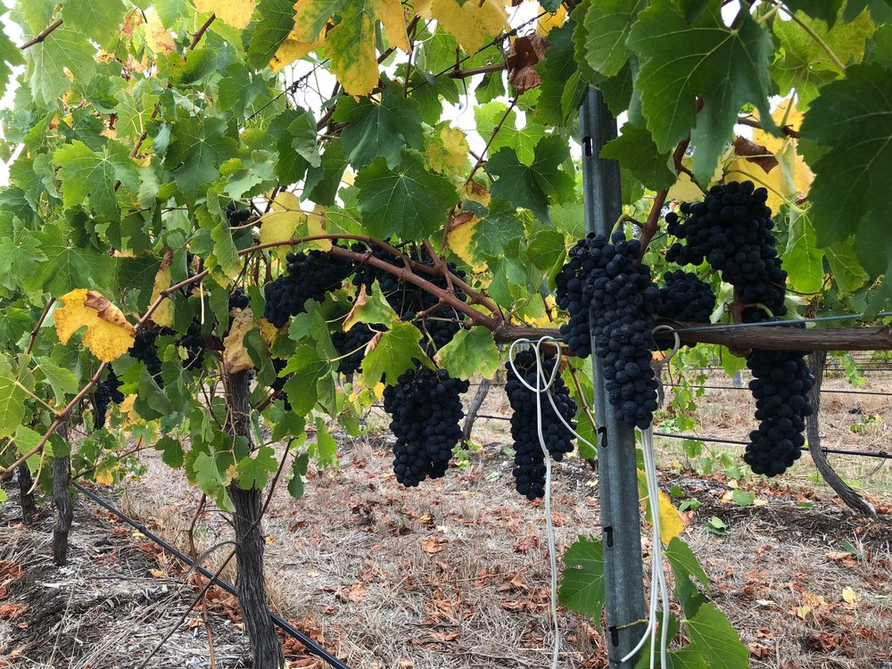Shiraz harvest 28 March