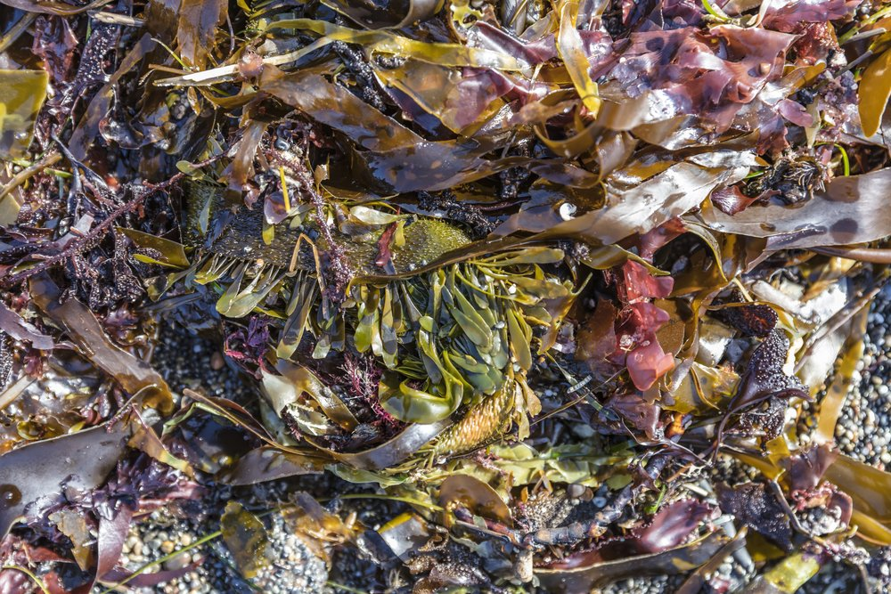 Our star ingredient, edible-grade kelp is full of vitamins, antioxidants and minerals that feed and nourish skin.
