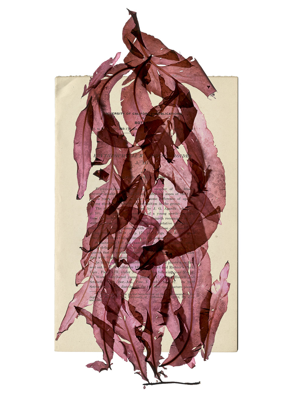 ErythrophyllumWilfredTwiss (1).jpg
