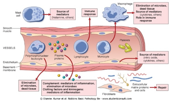 inflammation-role-and-types-6-638.jpg