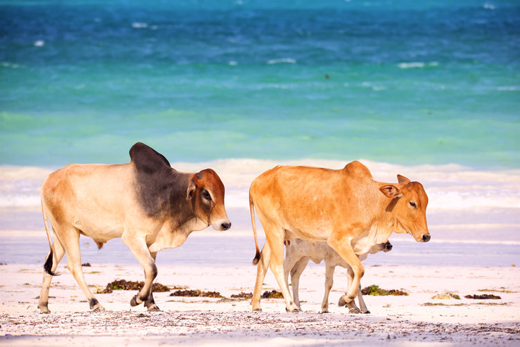 Brown humped cows in Zanzibar. A modern reminder of trade between Africa and Western Asia which lead to a lingua franca.