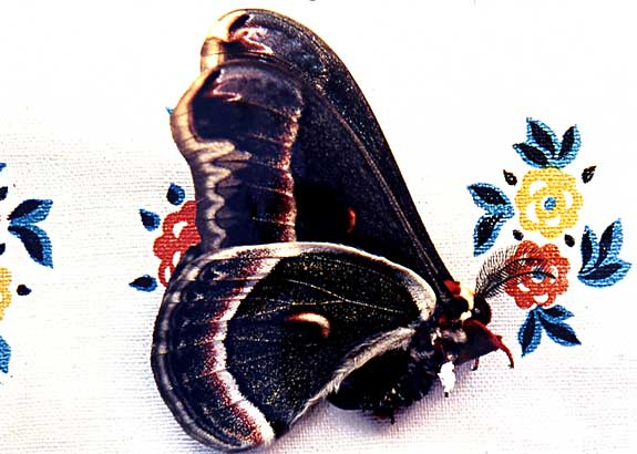 Mended IV • Cercopia moth with bandaged leg C print, 32 x 36, 2004.