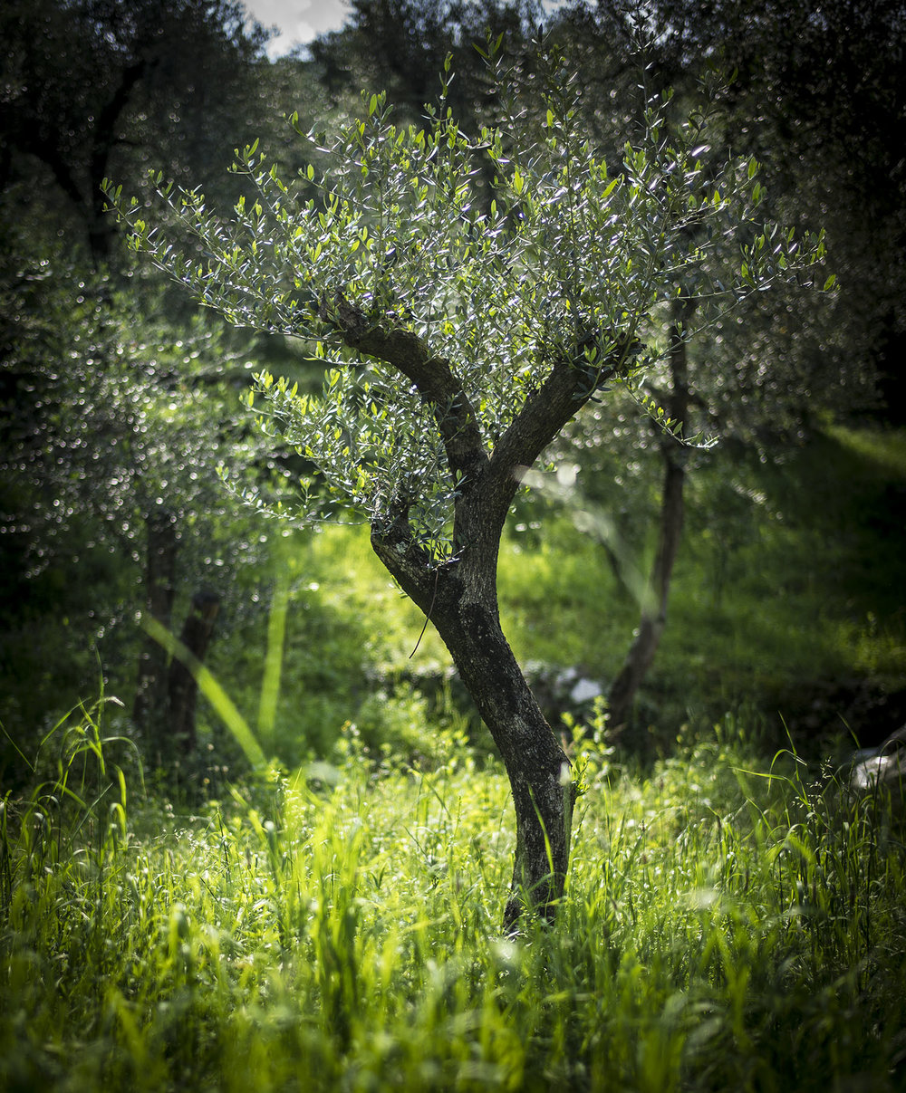 Olive tree, Brenzone Lake Garda