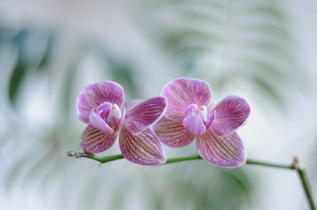 A little chorus line of orchids