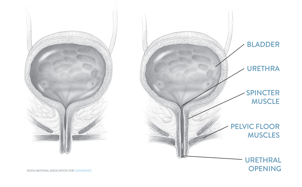 Female Urinary Anatomy