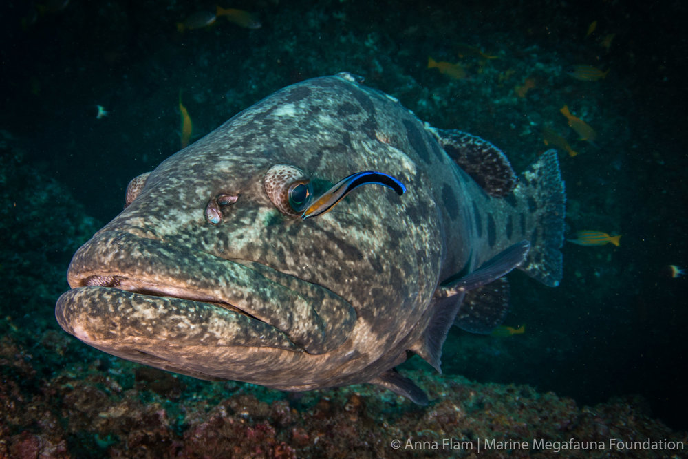 Cleaning grouper-7842.jpg