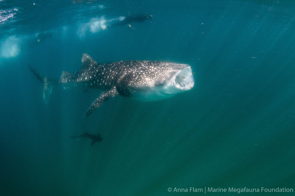 Feeding whale shark-8241.jpg