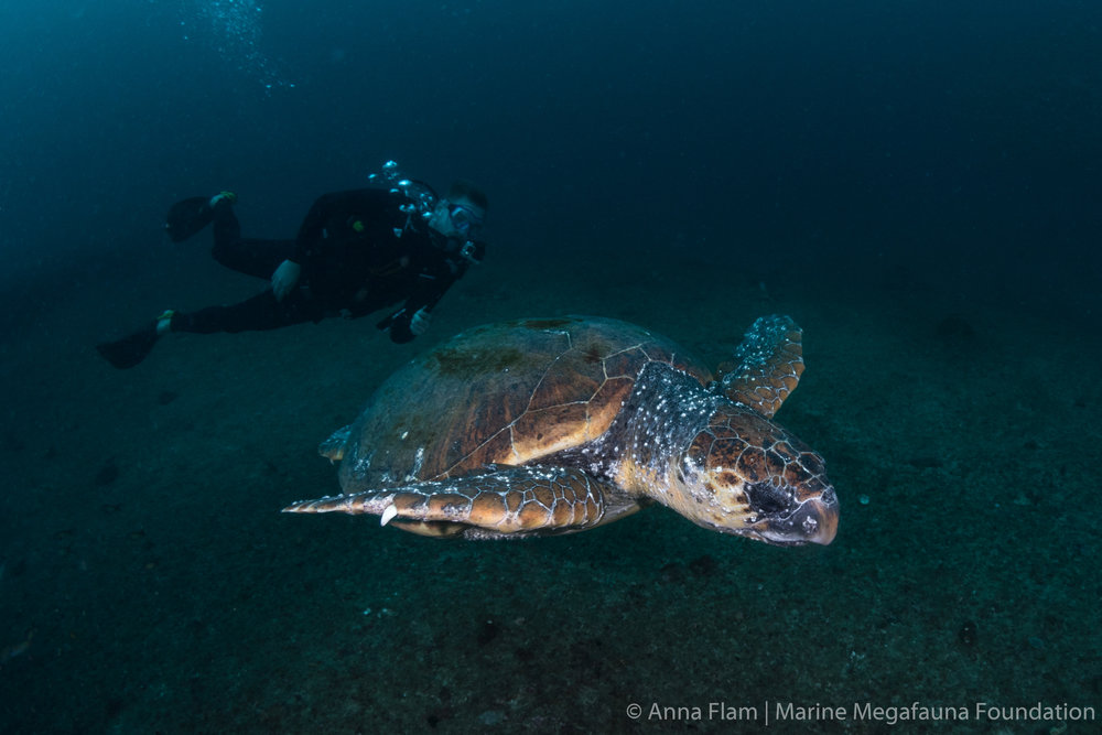 Diver and loggerhead-6293.jpg