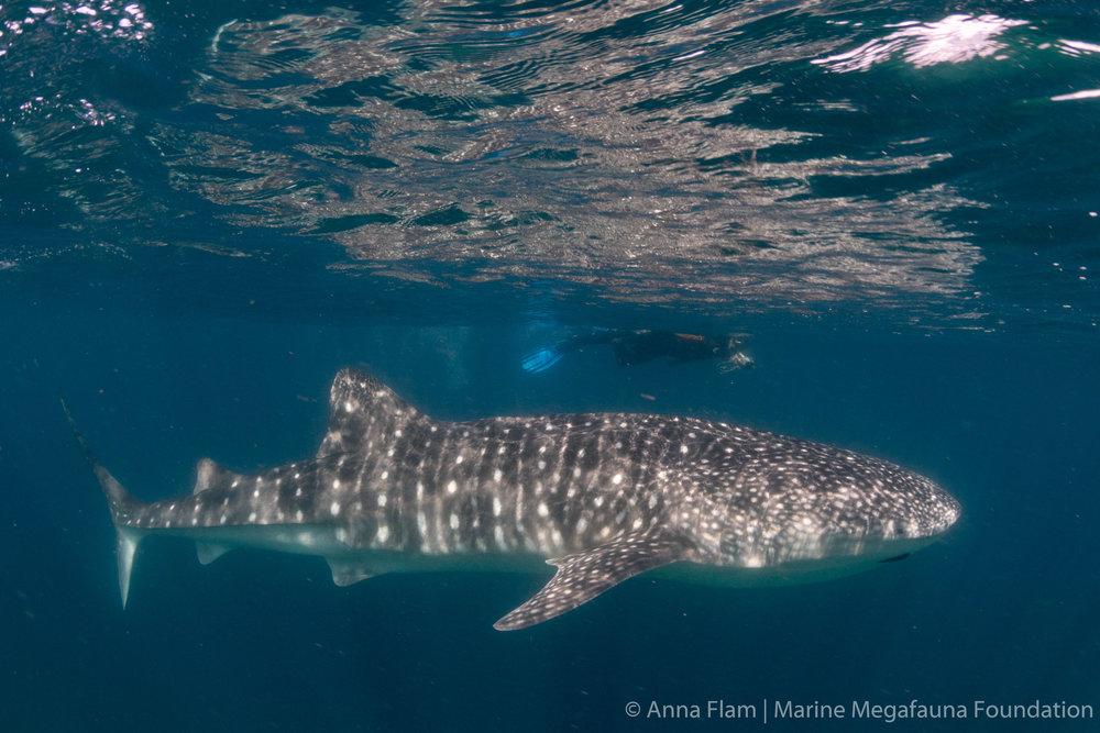 IDing a whale shark-9660.jpg