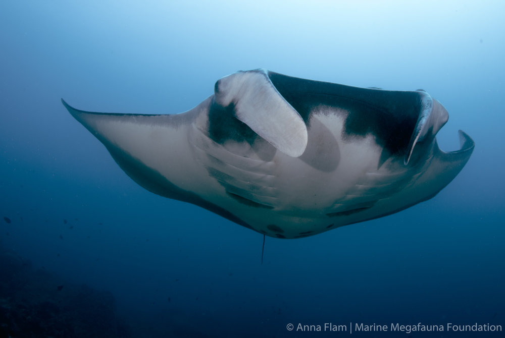 Pregnant giant manta-1220.jpg