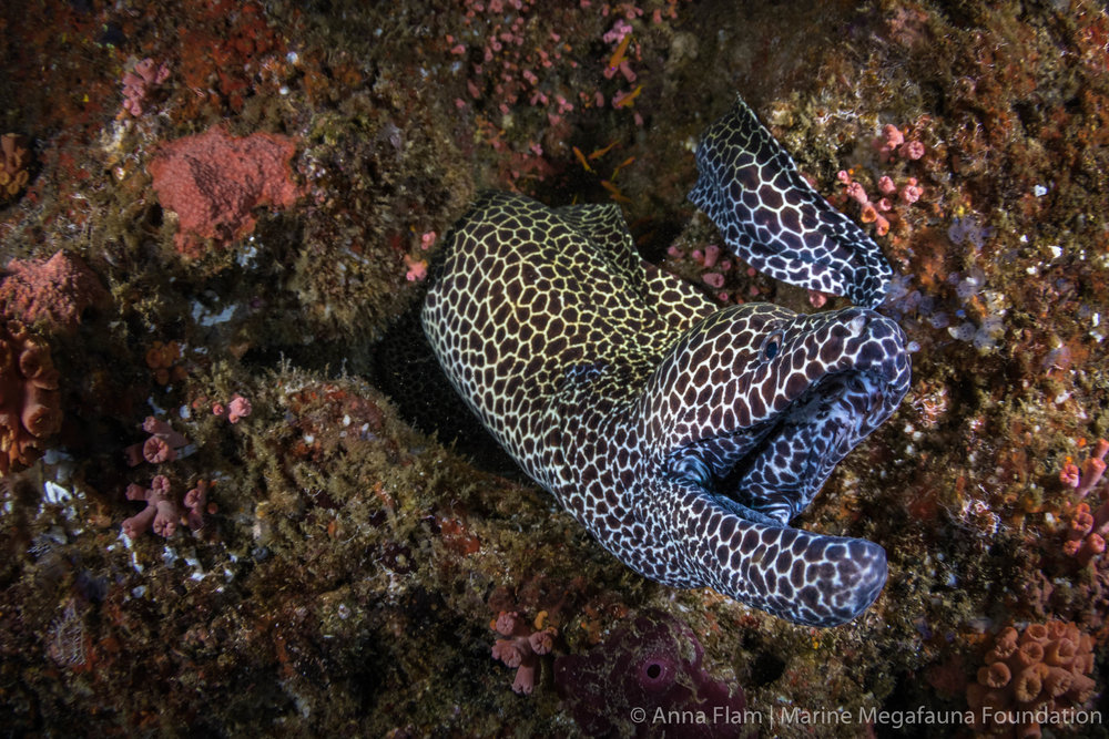 Honeycomb moray-8275.jpg
