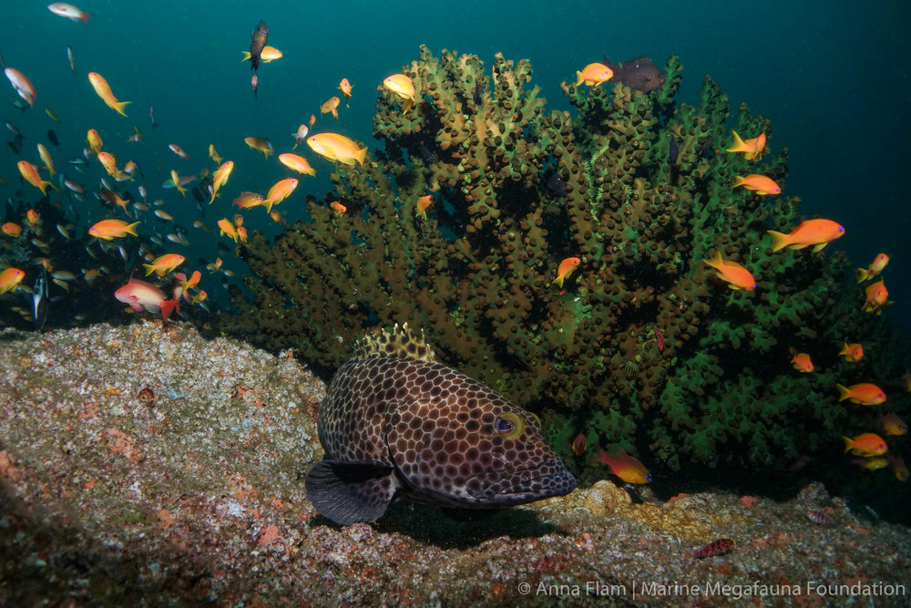 Honeycomb grouper-04361.jpg
