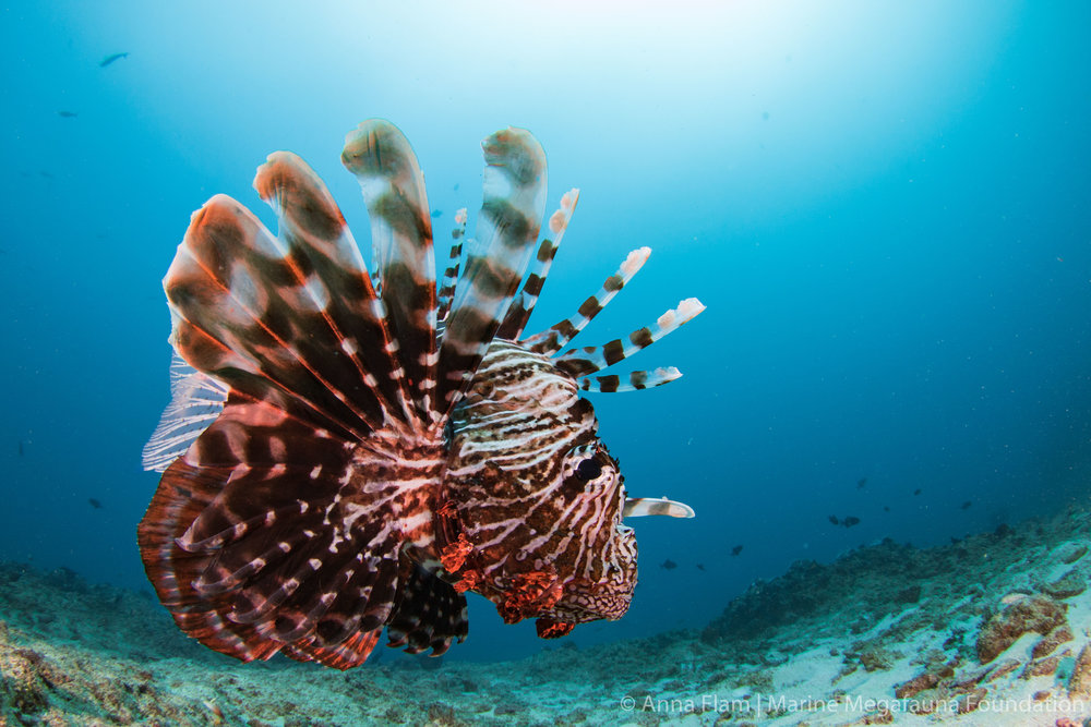 Lionfish profile-5124.jpg