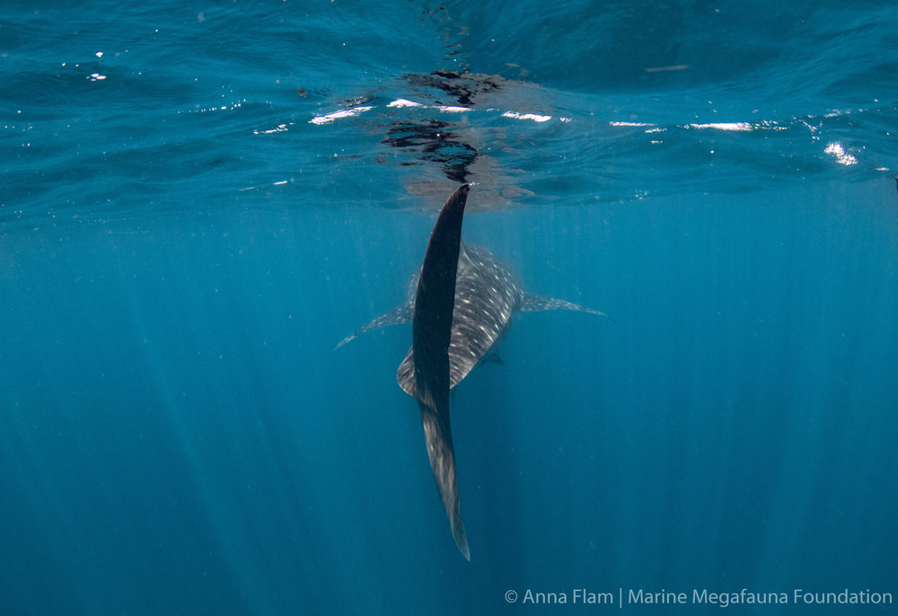 Whale shark from behind-3190.jpg