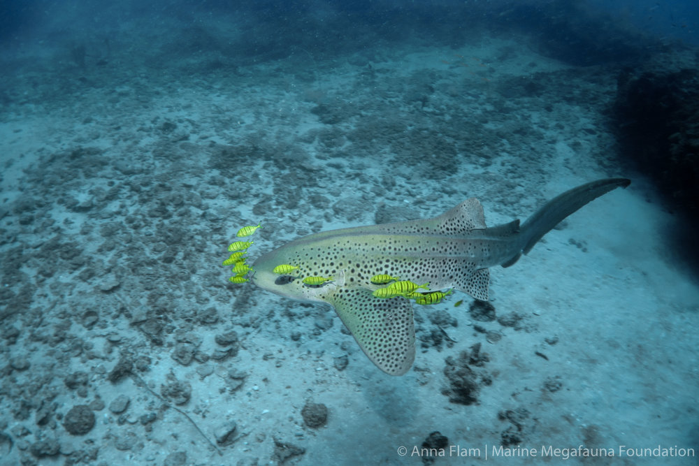 Leopard shark and pilot fish-02227.jpg